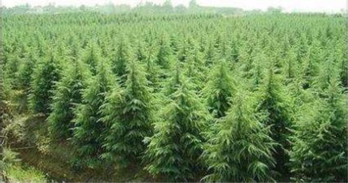 陕西苗木种植基地