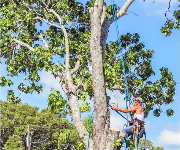 园林景观绿化修剪树木