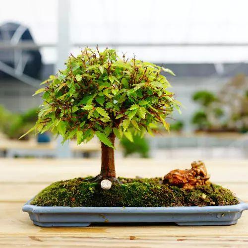 如何打理杂木盆景的造型呢?