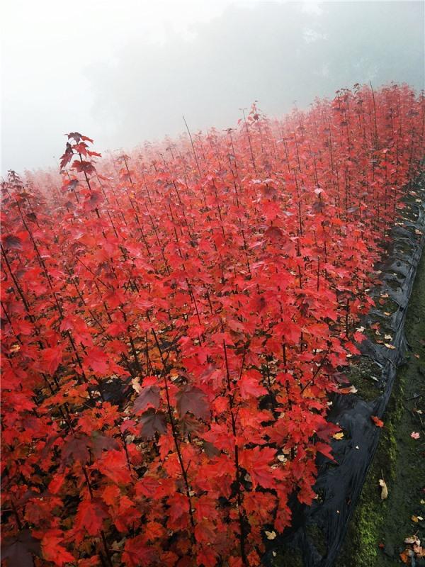 四川美国红枫成功案例