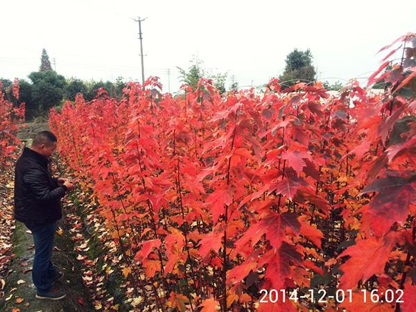 四川美国红枫种植公司风貌