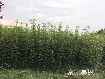 四川美国红枫厂家荣誉资质