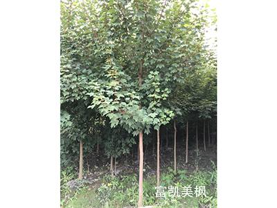 四川红枫苗木为什么这么受欢迎,市场发展前景怎么样?