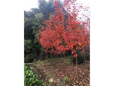 四川美国红枫小苗
