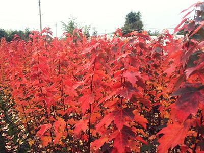 美国红枫品种(十月光辉)发展趋势迅猛,很多种植大户已经纷纷开始了抢购!