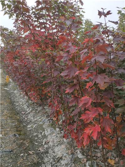 怎么种植成都美国红枫?一年能够长多高
