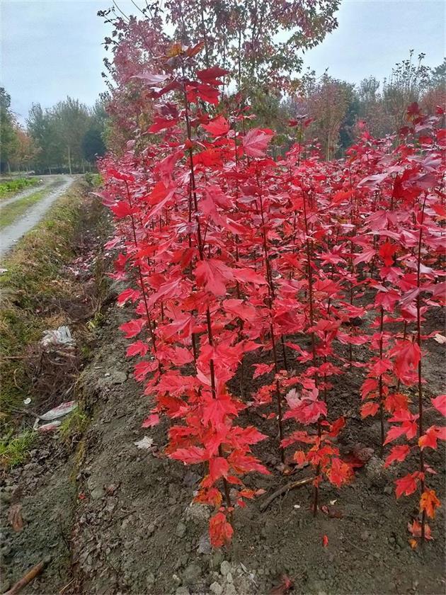 富凯美枫园艺长年引进美国红枫新品种