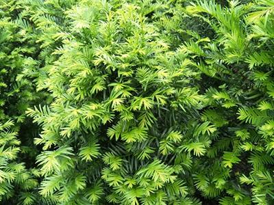 冬季养护四川红豆杉时有哪些注意事项?