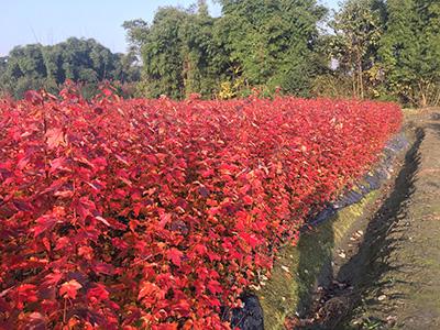 有些成都美国红枫叶子颜色变红变黄是什么原因造成的呢?