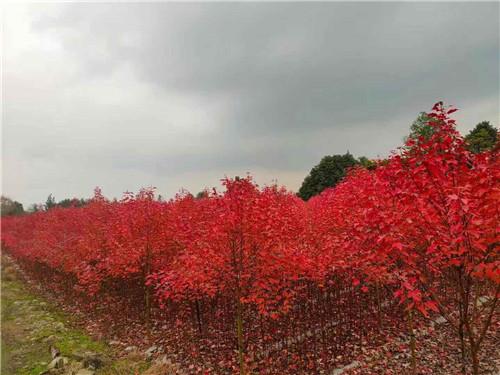 四川美国红枫小苗种植排雷专区