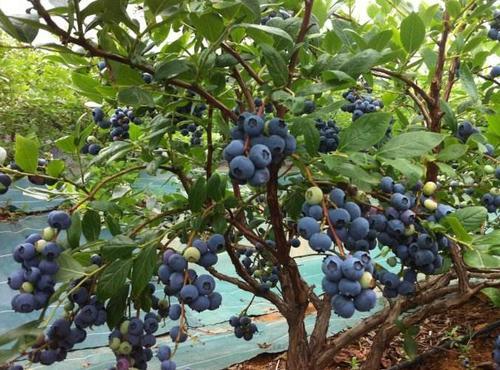 四川蓝莓笼子