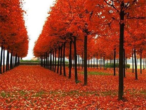 四川美国红枫种植时八点修剪建议