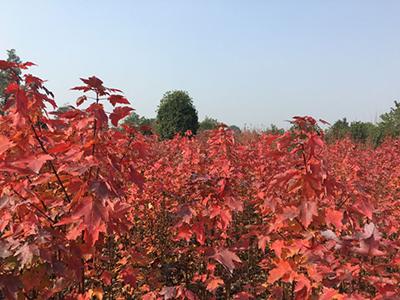 四川美国红枫