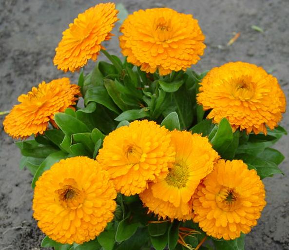 春季草花金盏菊