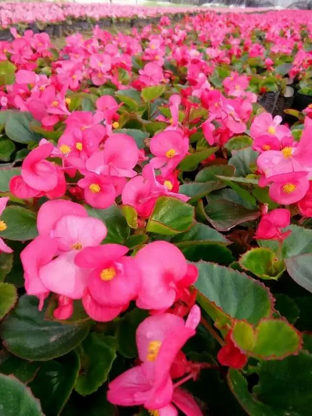 西安四季草花夏季海棠