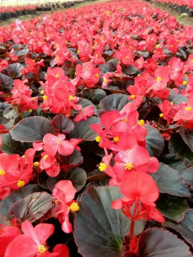 欣优达海棠花卉
