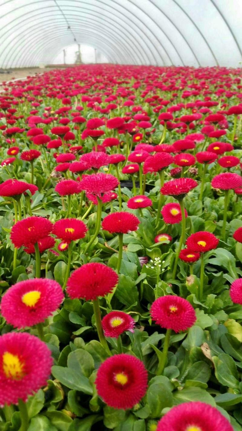 春季草花雏菊