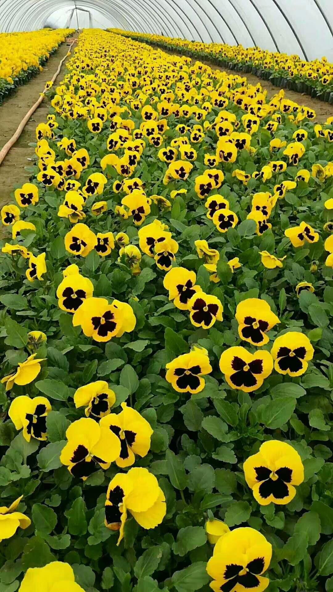 三色堇草花