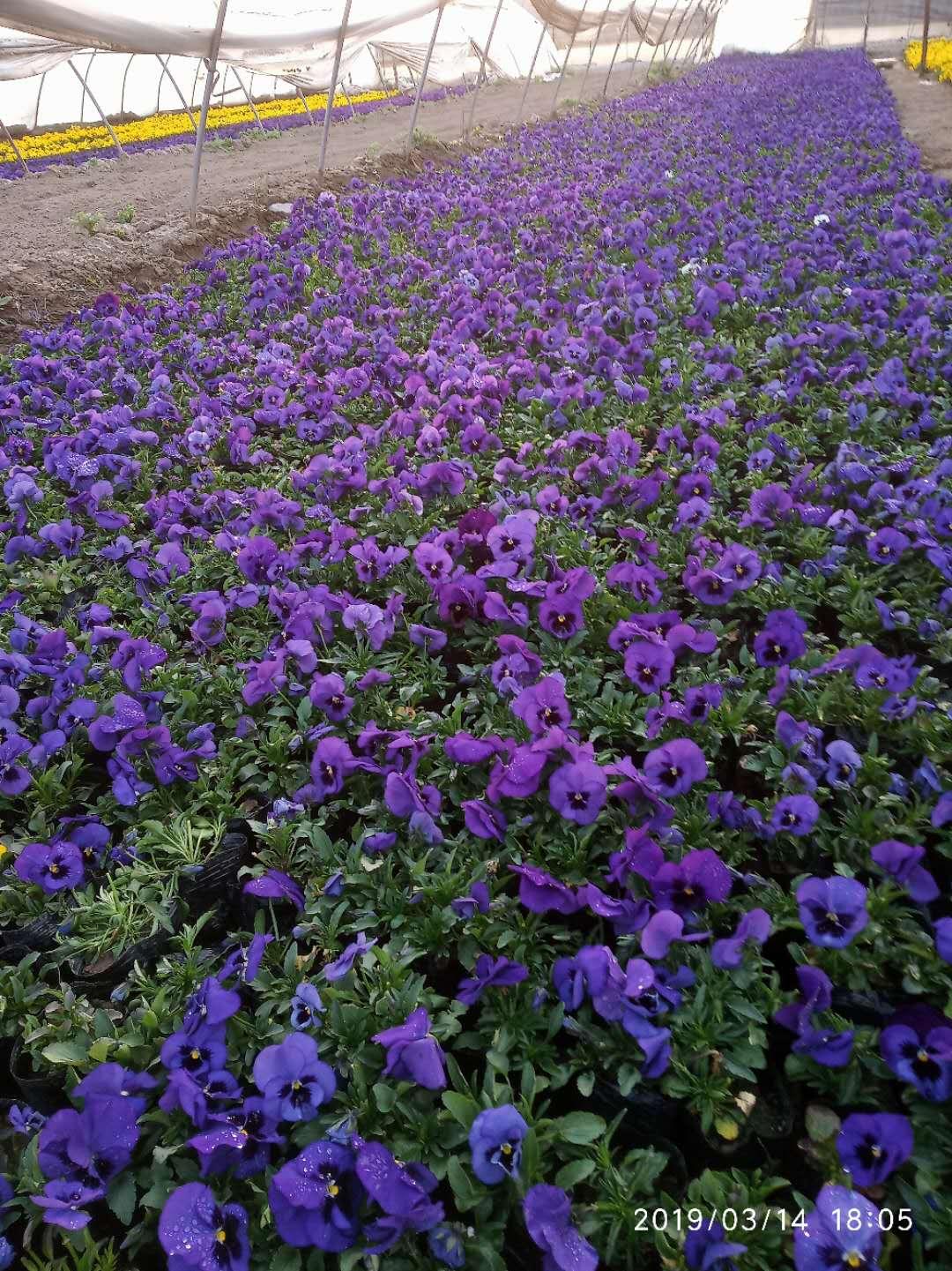 西安四季草花