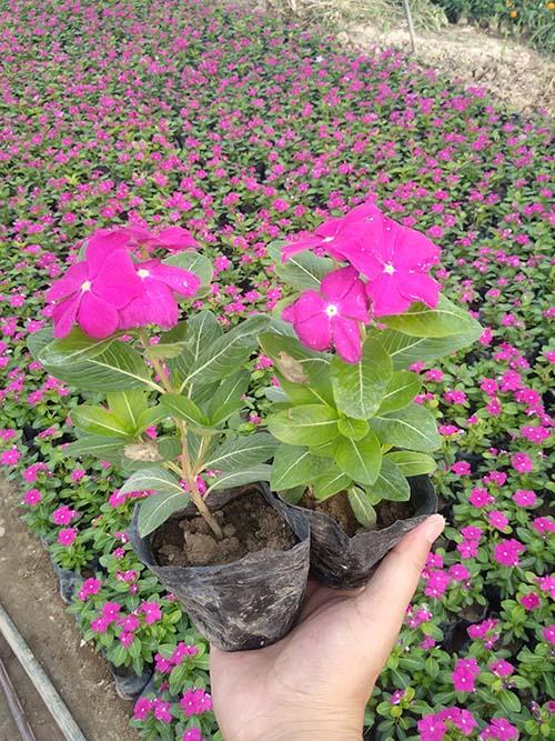 盆栽长春花