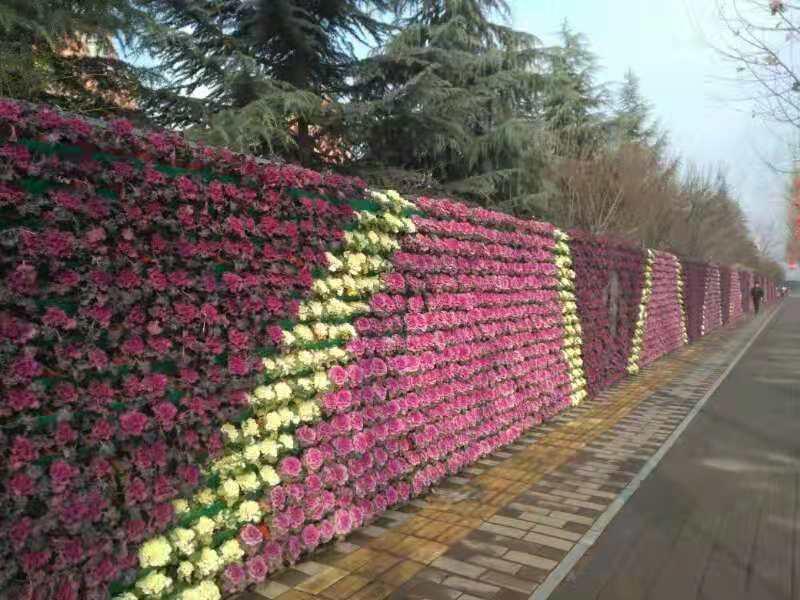 西安时令草花之冬天的一抹艳丽——甘蓝