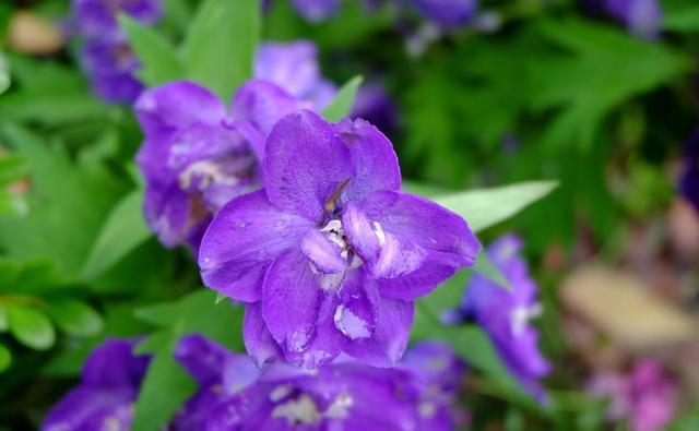 飞燕草花形别致,色彩淡雅,萼片紫色,粉红色或白色