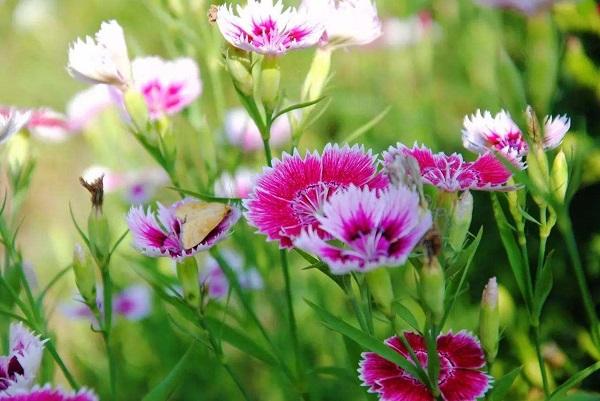 开花的草坪:石竹