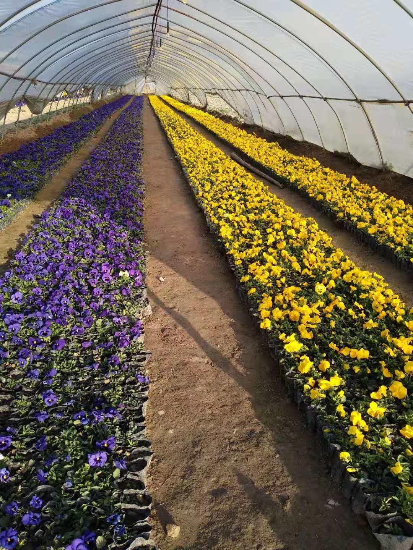 西安草花基地:欣优达花卉工程提出花海改造设计的方案