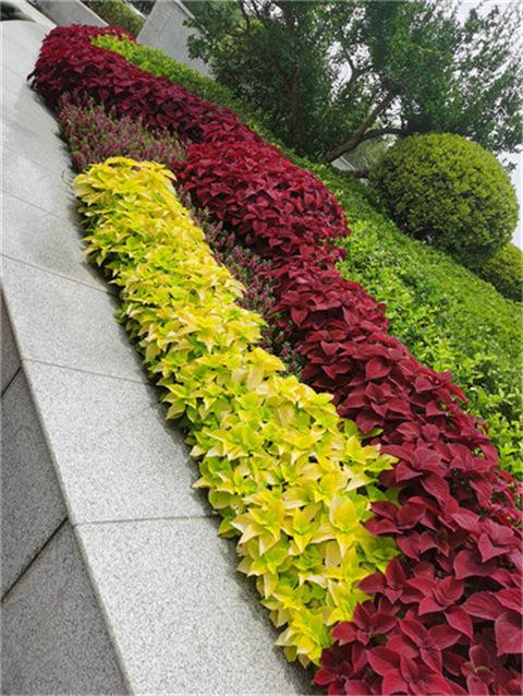 夏季耐热性观叶植物 彩叶草