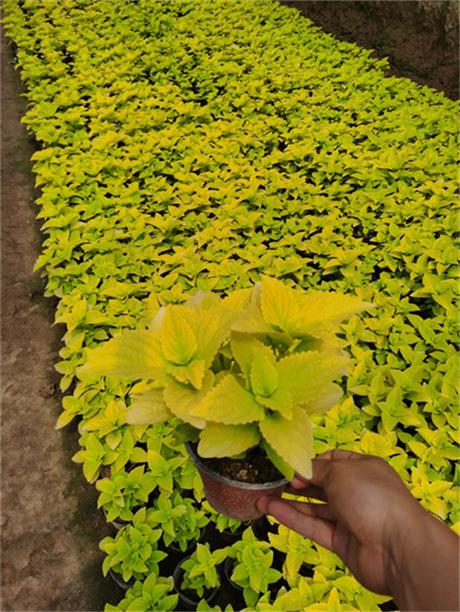 夏季品种 彩叶草
