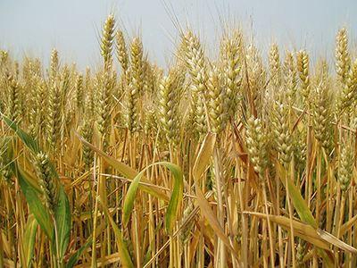 全国大规模小麦跨区机收拉开序幕