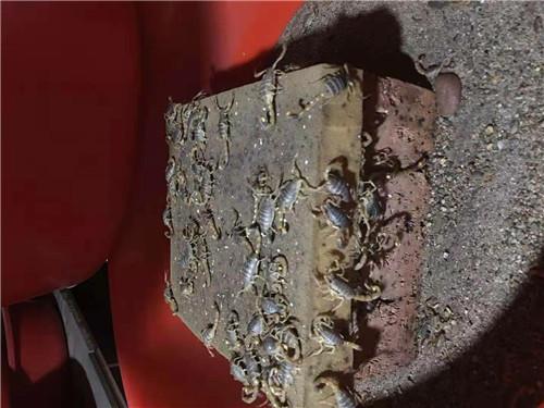 西安蝎子养殖价格