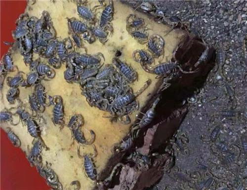 陕西蝎子养殖