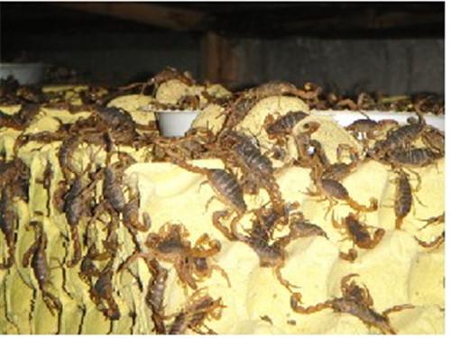 蝎子养殖基地