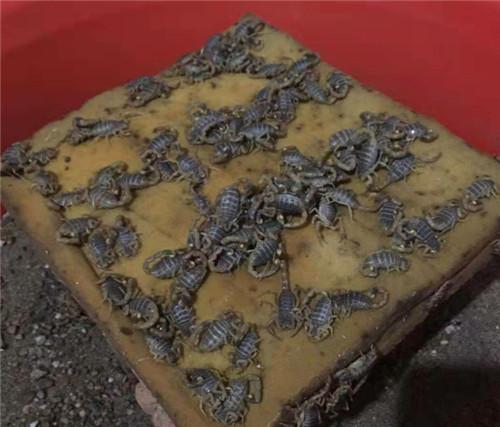 蝎子养殖饲料可人工养殖