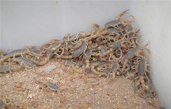 西安蝎子养殖