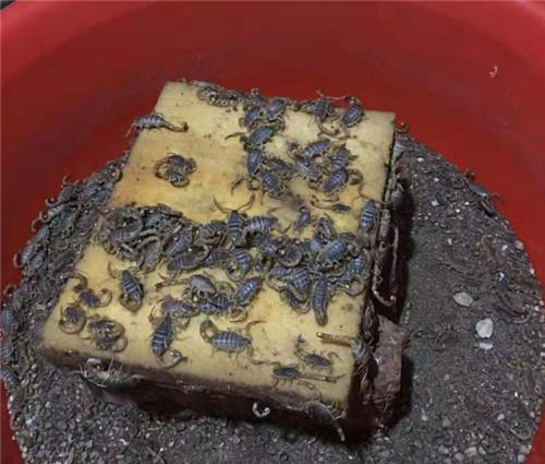 西安蝎子养殖技术