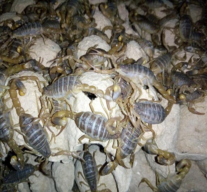 关于人工养殖的蝎子出现死亡的原因有哪些