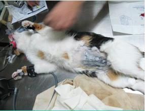 宠物绝育手术
