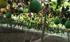 瓜蔞種植地展示