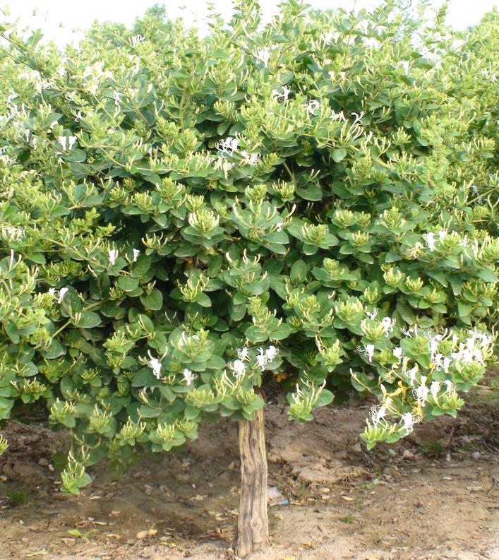 陜西金銀花種植