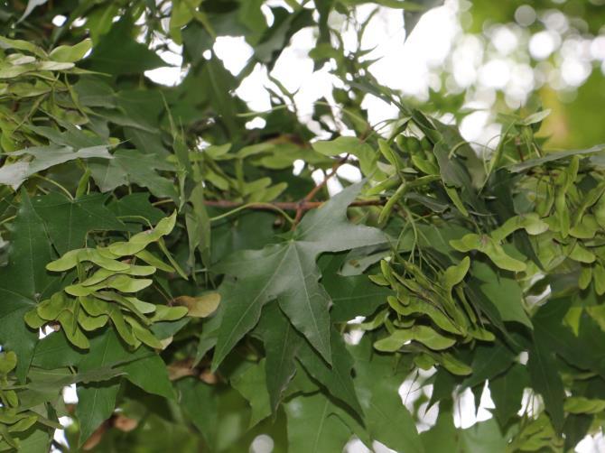 陜西元寶楓苗木