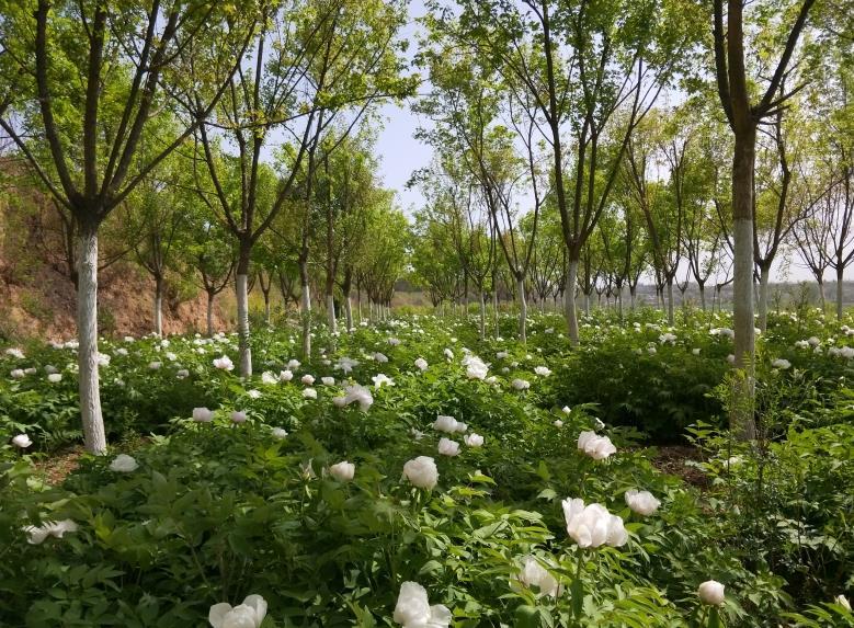 陕西油用牡丹种植基地