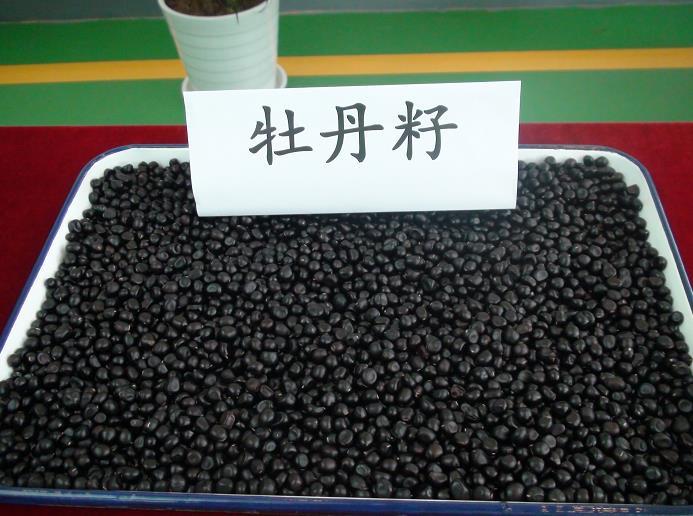 陕西油用牡丹种植