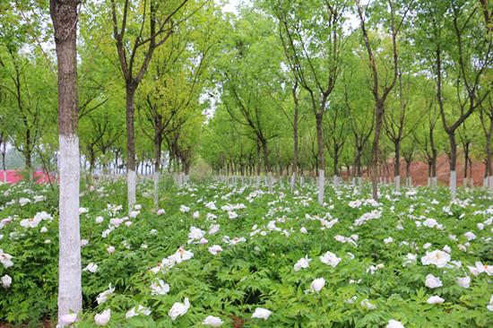 陕西省元宝枫高产示范园