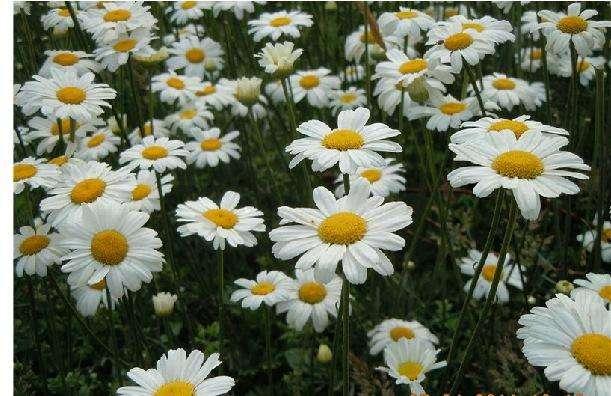 除虫菊栽培方法