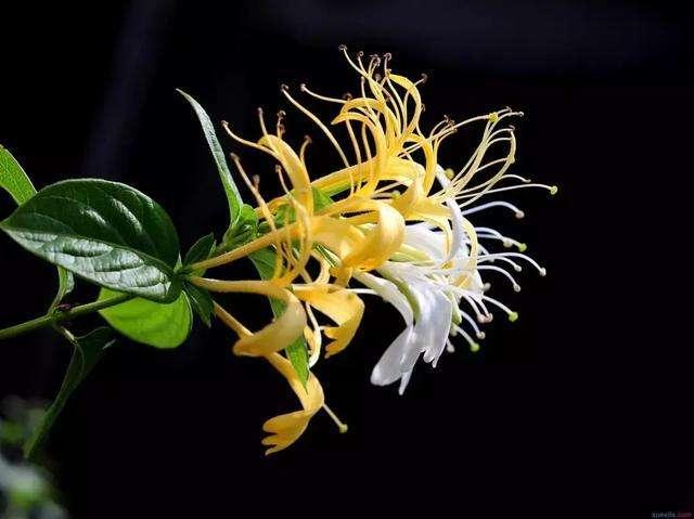 陕西金银花