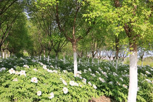 陕西省花卉协会会长郭志诚一行来杨凌金山花卉产业示范园调研