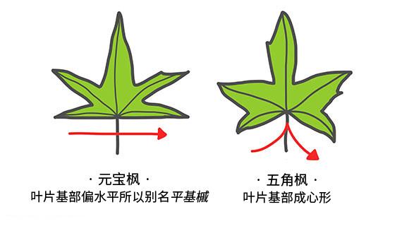 元宝枫与五角枫的区别有哪些