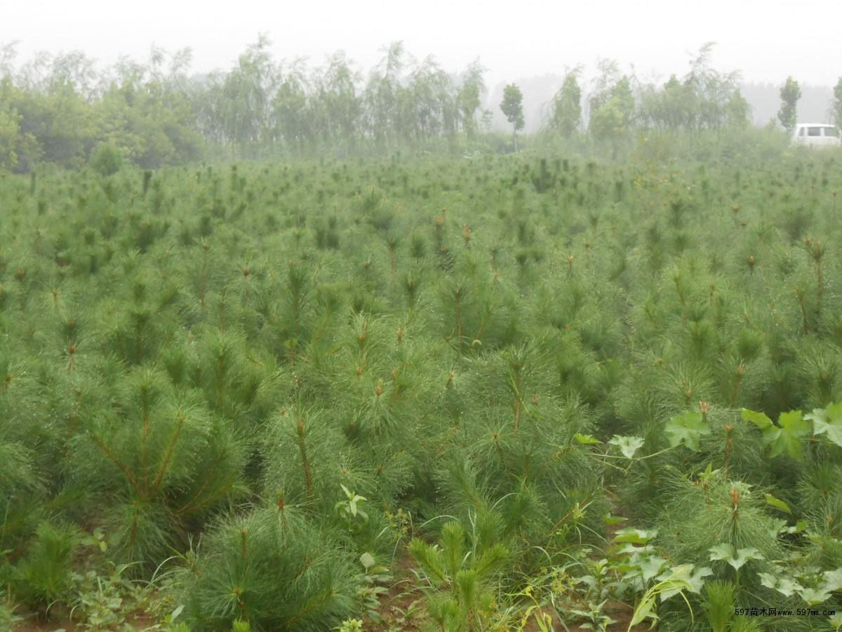 藍田油松苗木